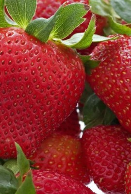 10-Honeoye-Strawberry-Fruit-Plants-INCREDIBLY-SWEET-BERRY-10-Bare-Root-Plants-for-895-Zone-3-8-Organic-grown-in-USA-0