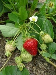 10-Sweet-Charlie-Strawberry-Plants-SUPER-SWEET-BERRY-pack-of-10-bare-roots-for-945649-shipping-Zones-4-9-0-0