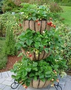 10-Sweet-Charlie-Strawberry-Plants-SUPER-SWEET-BERRY-pack-of-10-bare-roots-for-945649-shipping-Zones-4-9-0-2