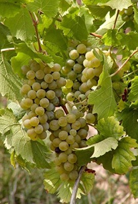 1128-WHITE-CONCORD-GRAPES-5-SEEDS-0-1