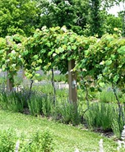 1128-WHITE-CONCORD-GRAPES-5-SEEDS-0-3