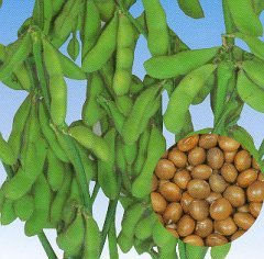 15-Edamame-Midori-Giant-Soybean-Seeds-Fresh-Pack-by-Seeds-and-Things-A-traditional-Edamame-soybean-0-0