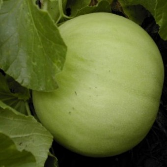 150-HONEYDEW-GREEN-FLESH-Cucumis-Melo-Inodorus-Melon-Fruit-Seeds-0-1