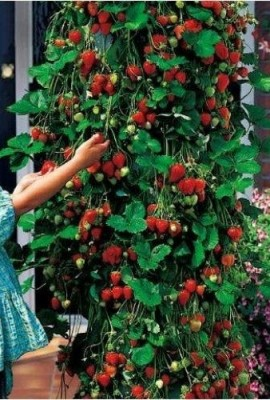 200-Count-Lot-of-Climbing-Strawberry-Seeds-0-0