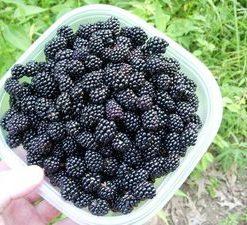 25-Pre-Stratified-Jumbo-Thornless-Blackberry-Seeds-0-0