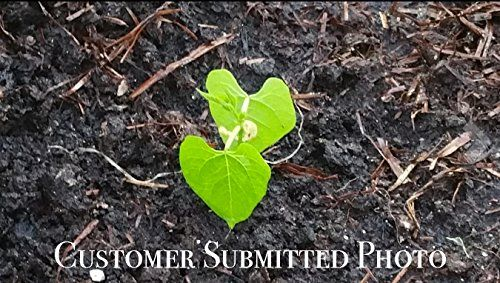 25K-Organic-Seeds-Bulk-Surplus-Heirloom-Variety-Pack-Grow-Guarantee-25000-Vegetable-Seeds-Non-GMO-95-Germination-Rates-0-4