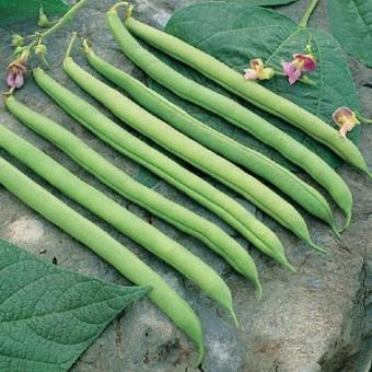Bean-Bush-Provider-D010A-Green-100-Organic-Seeds-by-Davids-Garden-Seeds-0