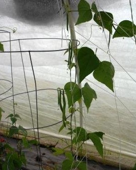 Bean-Pole-Fortex-D34A-Green-100-Open-Pollinated-Seeds-by-Davids-Garden-Seeds-0-1