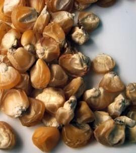 Corn-Sweet-Golden-Bantam-D41105A-Yellow-75-Organic-Heirloom-Seeds-by-Davids-Garden-Seeds-0-0