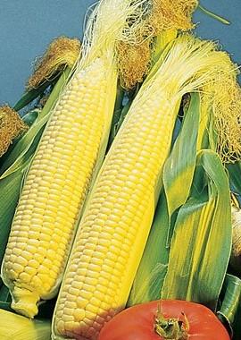 Corn-Sweet-Golden-Bantam-D41105A-Yellow-75-Organic-Heirloom-Seeds-by-Davids-Garden-Seeds-0
