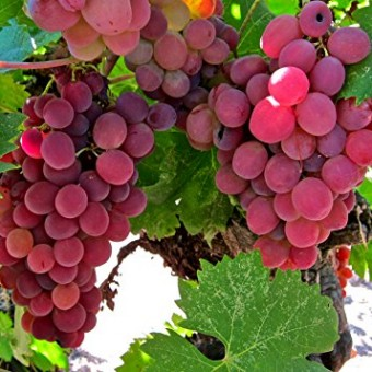 Flame-Bunch-Grape-Certified-10-Seeds-11109-Item-UPC637632549630-0