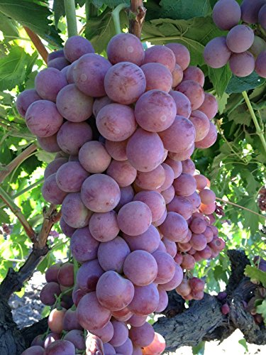 GIANT-RED-GRAPES-RARE-5-SEEDS-SWEETESTe-z-1003-0-4