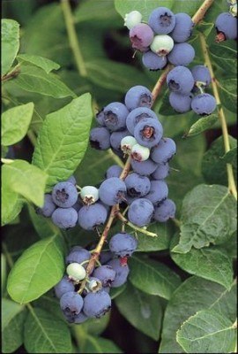 JaysseedsTM-Organic-Highbush-Blueberry-Certified-100-Seeds-Item-Upc637632549142-0-0