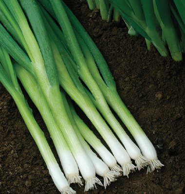 Onion-Bunching-Evergreen-Hardy-White-D502A-White-500-Organic-Seeds-by-Davids-Garden-Seeds-0