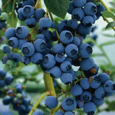 Organic-Northern-Highbush-Blueberry-Certified-100-Seeds-2344-Item-UPC637632549135-self-fertile-0