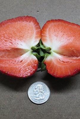 RARE-GIANT-STRAWBERRY-25-seedsFRAGARIA-ANANASSA-LSWEETESTE-Z-GROW1105-A-0-0