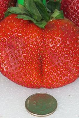 RARE-GIANT-STRAWBERRY-25-seedsFRAGARIA-ANANASSA-LSWEETESTE-Z-GROW1105-A-0-1