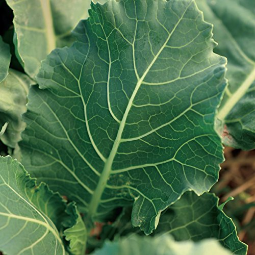 Seeds-of-Change-Certified-Organic-Collards-Seeds-0-1