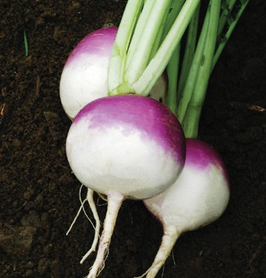 Turnip-Purple-Top-White-Globe-D705-Purple-and-White-1000-Organic-Seeds-by-Davids-Garden-Seeds-0