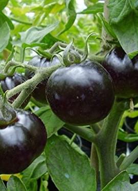 VERY-RARE-BLUE-TOMATO-Seeds-25-Indigo-RoseORGANIC-Open-Poll-OSU1104-A-0-0