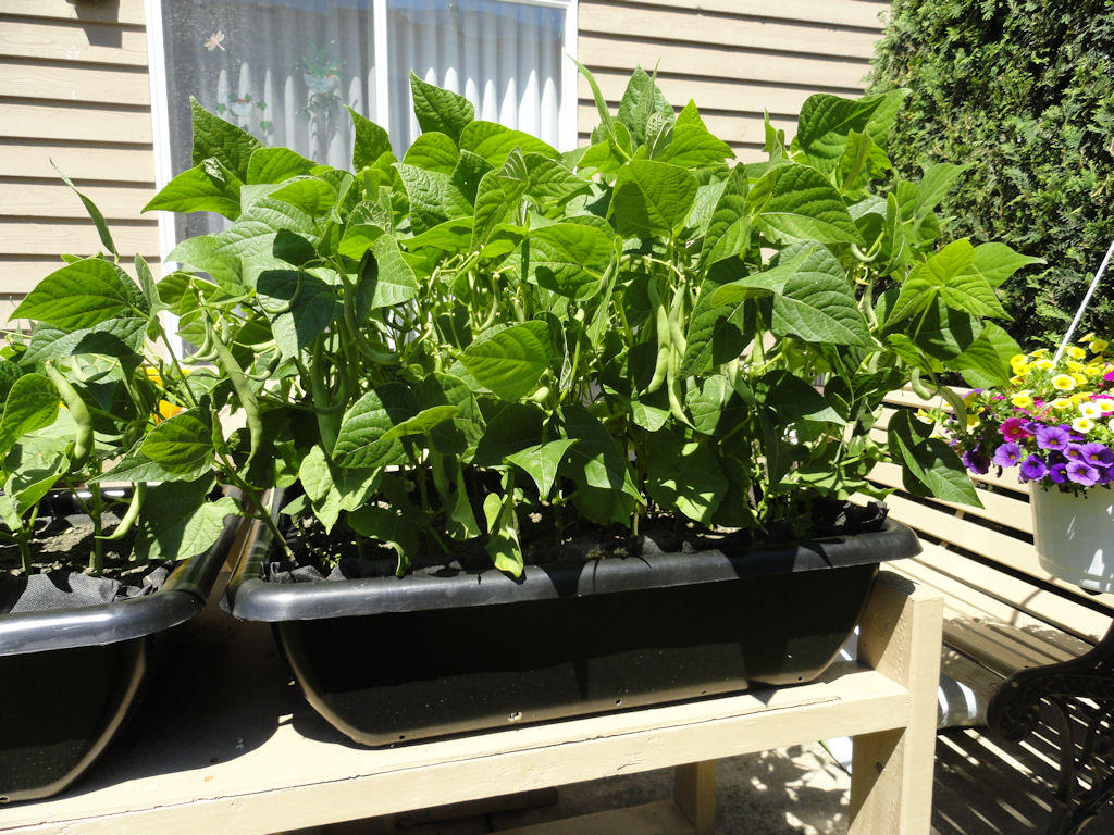 Growing bush beans in containers - Grow Green Beans At Home Green Beans Are An Excellent Source Of Vitamin A And A Good Source Of Vitamin B6 Thiamin And Vitamin C These Beans Also Contain