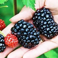 100-Organic-Wild-Giant-Blackberry-Seeds-0-0