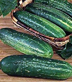 100seeds-Straight-Eight-Cucumber-an-All-american-Winner-in-1937-the-Best-Tasting-Cucumber-Ever-by-Seeds-and-Things-0-0