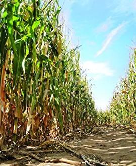 1245-RAREAMAZON-GIANT-YELLOW-CORN-35-SEEDSe-z-grow12-18-TALL-Corn-Bread1245-0-0