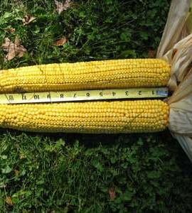 1245-RAREAMAZON-GIANT-YELLOW-CORN-35-SEEDSe-z-grow12-18-TALL-Corn-Bread1245-0-2