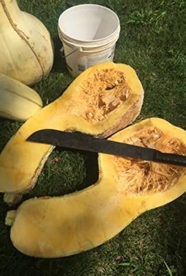 1338-Rare-Tennessee-Giant-White-Cushaw-Squash-Jonathan-7-Seeds-60-lbs-0-1
