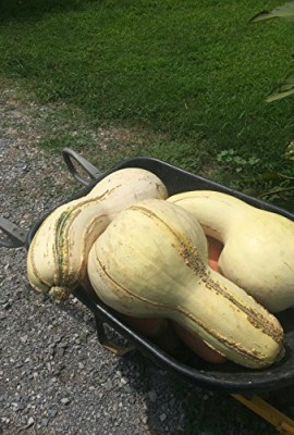 1338-Rare-Tennessee-Giant-White-Cushaw-Squash-Jonathan-7-Seeds-60-lbs-0-2