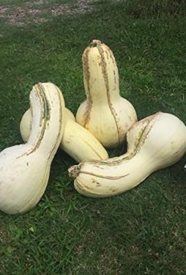 1338-Rare-Tennessee-Giant-White-Cushaw-Squash-Jonathan-7-Seeds-60-lbs-0-4