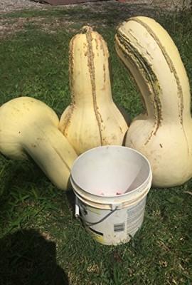 1338-Rare-Tennessee-Giant-White-Cushaw-Squash-Jonathan-7-Seeds-60-lbs-0-5