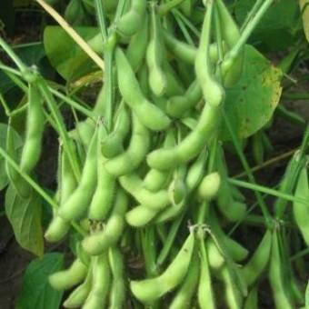 Soy Bean Seeds - Organic Varieties | Johnny's Selected Seeds