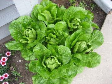 3000-PARRIS-ISLAND-COS-ROMAINE-LETTUCE-Lactuca-Sativa-Vegetable-Seeds-0-0