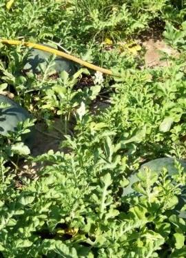 50-FLORIDA-GIANT-WATERMELON-Cannon-Ball-Black-Diamond-Citrullus-Fruit-Seeds-0-3