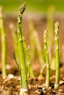 Asparagus-Mary-Washington-FBA-0001A-Green-100-Heirloom-Seeds-by-Davids-Garden-Seeds-0-2