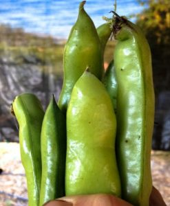 Organic-Broad-Windsor-Fava-Bean-Seeds-Non-GMO-Certified-Organic-Heirloom-Seed-Packet-0-0