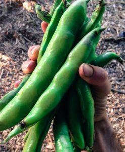 Organic-Broad-Windsor-Fava-Bean-Seeds-Non-GMO-Certified-Organic-Heirloom-Seed-Packet-0-1