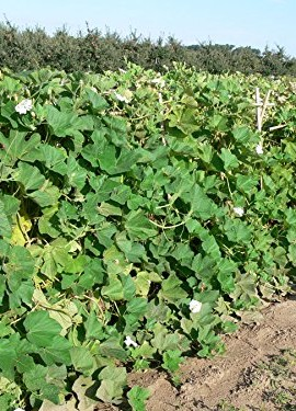 RARE7-GIANT-AFRICAN-BOTTLE-GOURD-SEEDS1173-0-0