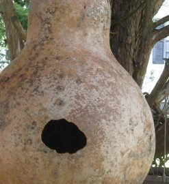 RARE7-GIANT-AFRICAN-BOTTLE-GOURD-SEEDS1173-0-2
