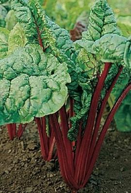 Swiss-Chard-Rhubarb-D702A-Maroon-400-Organic-Seeds-by-Davids-Garden-Seeds-0