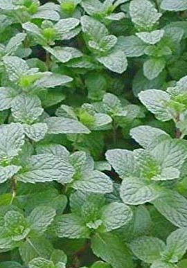 400-Lemon-Mint-Seed-Germination-Rate-Is-Very-High-Relaxed-and-Pleasant-0-0