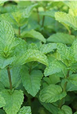 400-Lemon-Mint-Seed-Germination-Rate-Is-Very-High-Relaxed-and-Pleasant-0-1