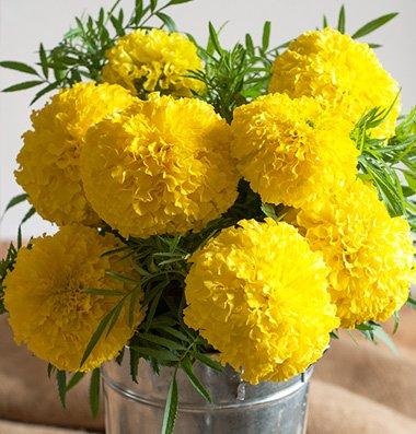 Flower-Marigold-Giant-Yellow-D1884A-Heat-Tolerant-Yellow-50-Open-Pollinated-Seeds-by-Davids-Garden-Seeds-0