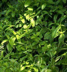 Heirloom-200-Seeds-Spearmint-Mentha-Spicata-Mint-Pennyroyal-Herb-Perennial-Flower-Seeds-A019-0-0