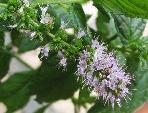Heirloom-200-Seeds-Spearmint-Mentha-Spicata-Mint-Pennyroyal-Herb-Perennial-Flower-Seeds-A019-0-1