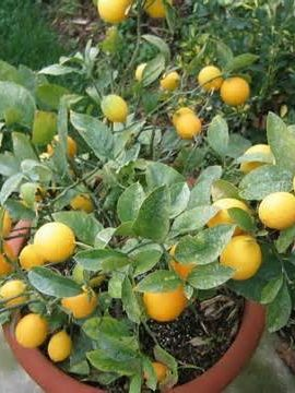 Meyer Dwarf Lemon Tree 35 Seeds indoor/outdoor - Container Garden Club