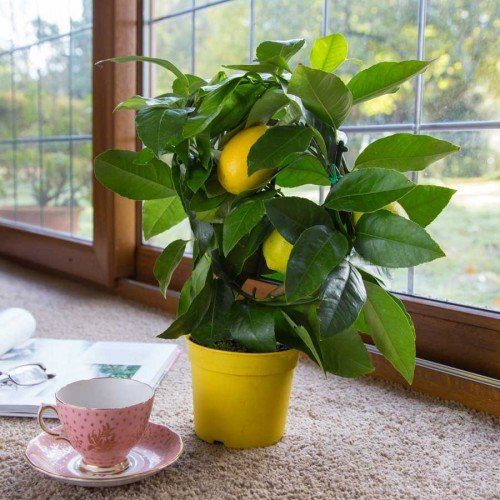 Grow lemons in containers container garden club for Growing a lemon tree in a pot from seed