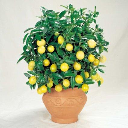 Meyer-Dwarf-Lemon-Tree-35-Seeds-indooroutdoor-0